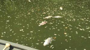 Thousands of dead fish in Kentucky river after Jim Beam warehouse fire